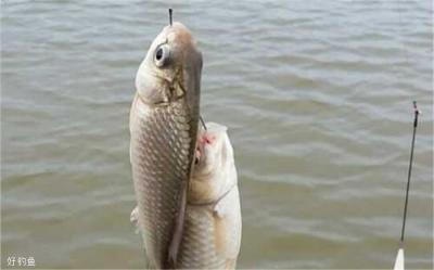 冬天钓鲫鱼方法4条,学会了上鱼不难